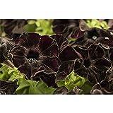 Hängepetunie 'Black', Petunia 'Black', schwarz - im Topf 12 cm, in Gärtnerqualität von Blumen Eber - 12cm
