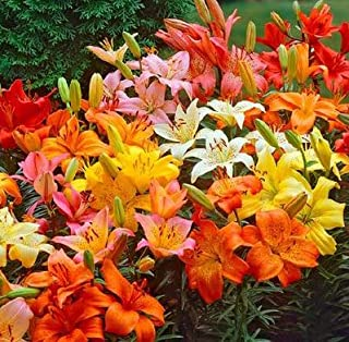 (3) Dwarf Asiatic Lily Mix, Bulbs, Great as a Accent Plant, Flowers are just Spectacular