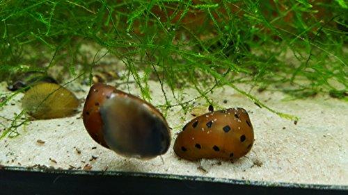 Orange Track Rennschnecke - Neritina turrita ( 5 Tiere )