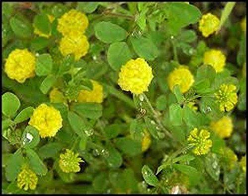 Clover- jaune Sweet- (mélilot officinal) - 200 graines