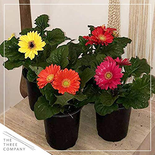 """The Three Company Healthy Live 5"""" Gerbera Daisies (3 Per Pack), 1 Quart, Grower's Choice Color Assortment"""