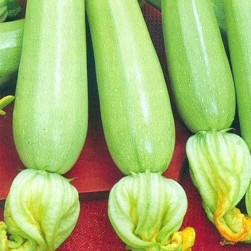 """weiße Zucchini""""Long White Bush"""" 25 x Samen aus Portugal 100% Natur/Massenträger ideal zum Grillen und Einlegen"""