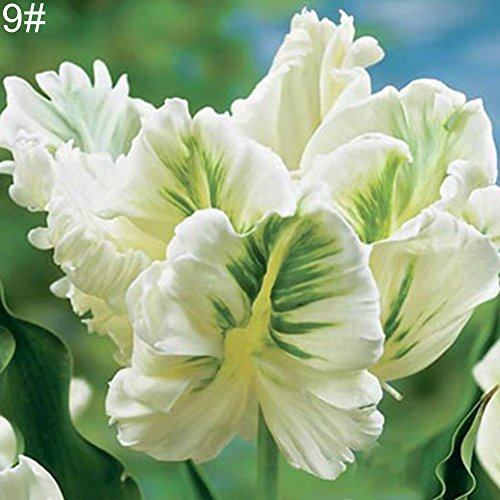 100 Stück Tulpen-Samen – Garten Blumensamen Bonsai Pflanze Home Office Decor – 9#