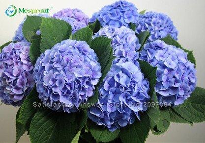 Promotion perte! 10 graines hortensia bleu Fleur, belle couleur, balcon en pot, la plantation est Fleurs simples, Romantique