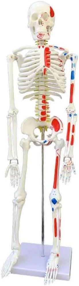XYSQWZ Human Skeleton Model - 85 Long Beach Mall 33.5 Inch cm Anatomical Ranking TOP4