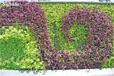 50 Pcs mixte Boston Seeds 100% vrai Parthenocissus tricuspidata semences de plantes en plein air QUASIMENT soins décoratifs Escalade de plantes 3