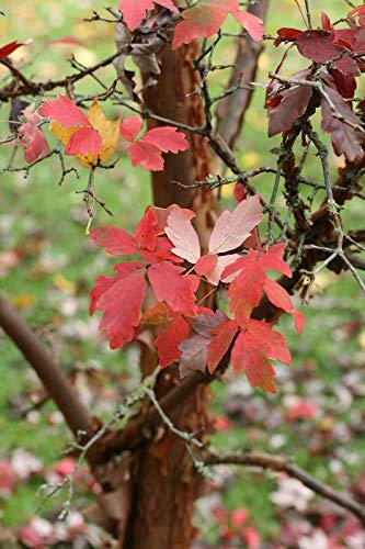 Zimt-Ahorn Ac. griseum Pflanze 35-40cm Zimtahorn Ahorn Rarität