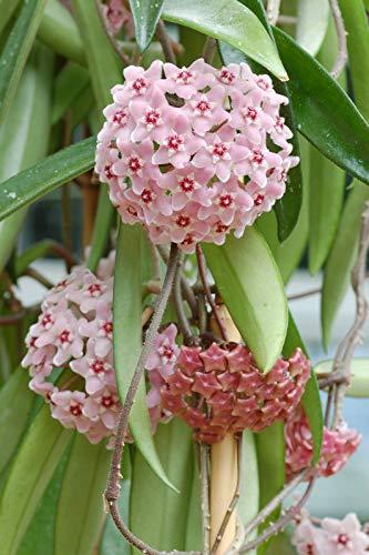Bloom Green Co. Nuevo bonsái verde fresco de Hoya, flores e