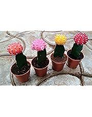 CAPPL Moon Cactus Small Live Plant
