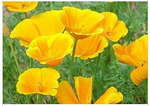 100 Graines semence fleur coquelicot pavot californie coloris jaune