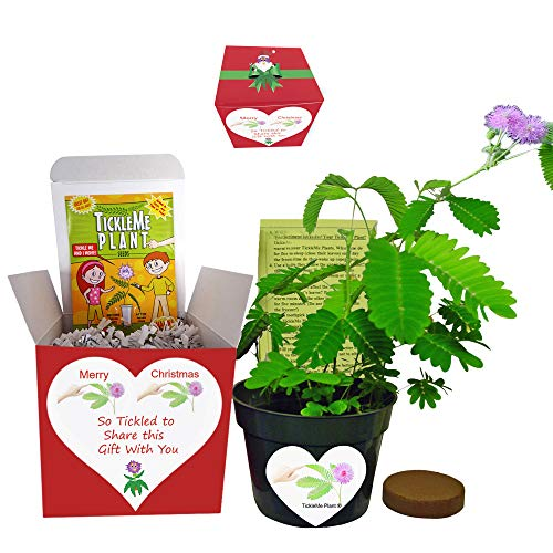 TickleMe Plant Box Set - Grow The Christmas House Plant That Closes Its Leaves When Tickled. It Can Even Flowers. This Gift Will Make Everyone Smile When They Tickle The Leaves.