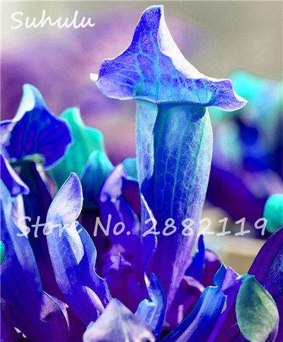 60 Pcs vivaces Nepenthes Seeds Carnivores Venus Fly Trap plus chaud du monde des plantes Graines Bonsai Garden Seed Color Mix Livraison gratuite 6
