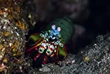 A peacock mantis shrimp crawls across a reef in...