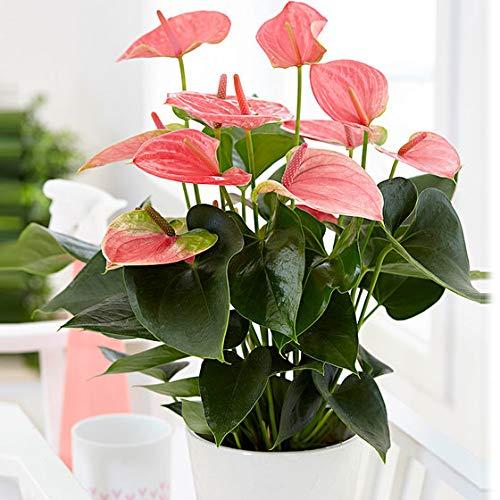Keland Garten - 20pcs Rarität Anthurie rosa Flamingoblume Zimmerpflanzen Bonsai pflegeleicht Lackanthurie Blumensamen winterhart mehrjährig für Blumentopf/Terrasse/Balkon