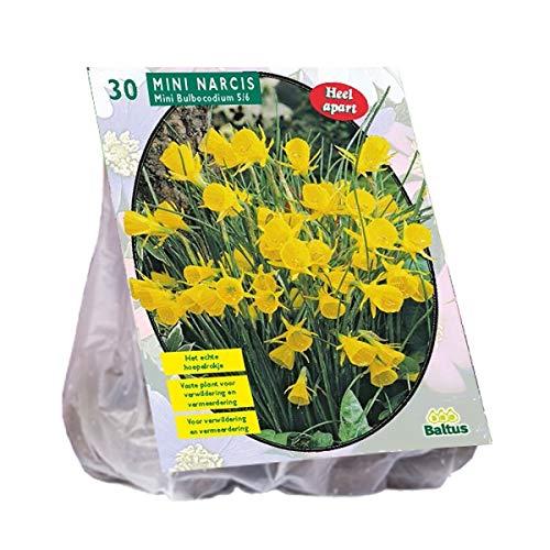 Narcis Mini Bulbocodium 30 Stück Osterglocken Narzissen Blumenzwiebel