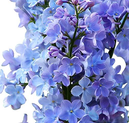 Fragrant Blue Lilac Tree Seeds UPC 600188197372 + 1 Free Plant Marker (50)