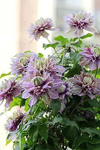 Clematis winterhart mehrjährig,Unterschiedliche Körperhaltungen,Blumen blühen im Hof-1,7zwiebelns