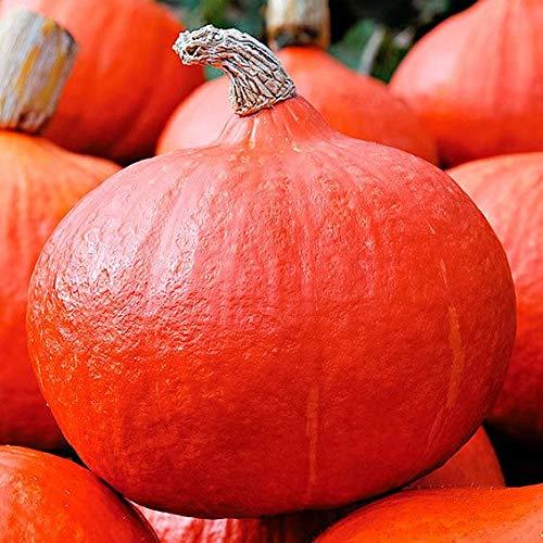 AIMADO Samen-50 Pcs Kürbissamen Bio Speisekürbis Hokkaido Orange Summer F1,Kastanienähnlicher Geschmack Gemüse Saagut ideal für kleinere Gärten oder Kübel