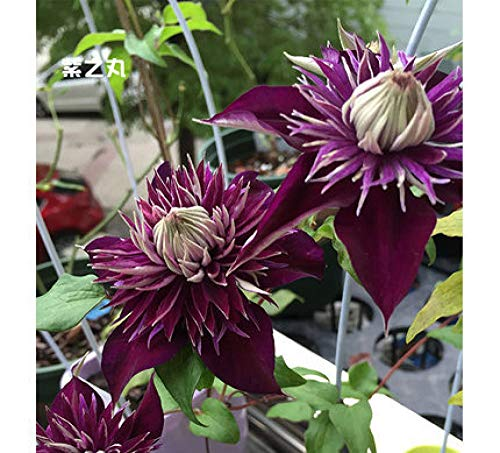 Aerlan Flores Paisaje para cercas,Clematis Flower Plant-No Basin_M,Maceta para Plantas de jardín/Interiores