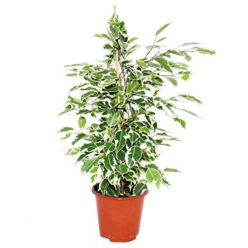 Exotenherz - Ficus benjamini'Twilight',...