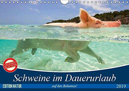 Schweine im Dauerurlaub auf den Bahamas! (Wandkalender 2019 DIN A4 quer): Schwimmende Schweine auf den Exumas auf der Insel
