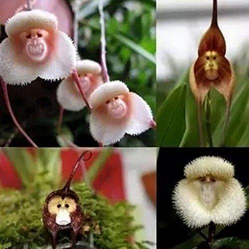 WuWxiuzhzhuo - 20 semi perfiore Orchidea scimmia 1