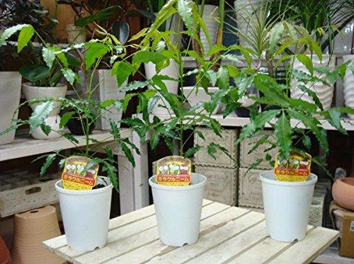 ミラクルニームの木 4号鉢植え お得な3鉢セット販売 自分流に仕上げて下さい 害虫対策・防虫効果・虫よけ・節電対策 約200種類以上の害虫に効果があると言われる 天然植物農薬 ニーム ニームの木 エディブルフラワー(食用花) にも活用されています父の日にも
