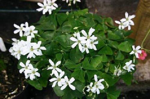 1Bulb Oxalis Green Shamrock White Flowers Shade Plant House Plant