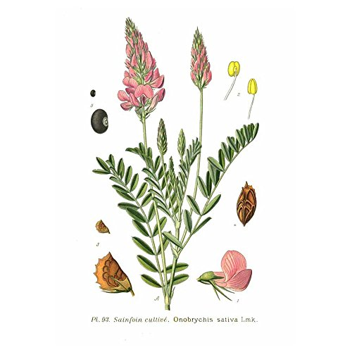 Saat Esparsette (Onobrychis viciifolia) 25 kg Futterpflanze Bodenverbesserer