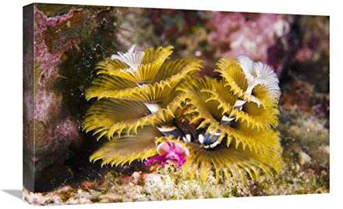 Global Gallery Christmas Tree Worm Filter Feeding While Attached to Great Star Coral, Bonaire, Netherlands Antilles, Caribbean-Canvas Art-24'x16'