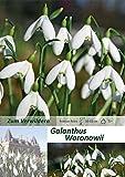 mgc24® Schneeglöckchen Galanthus woronowii einfach - 50 Blumenzwiebeln (ca. 6-7mm)