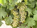 Viognier Wine Grape Vine - Plantable Year-Round!