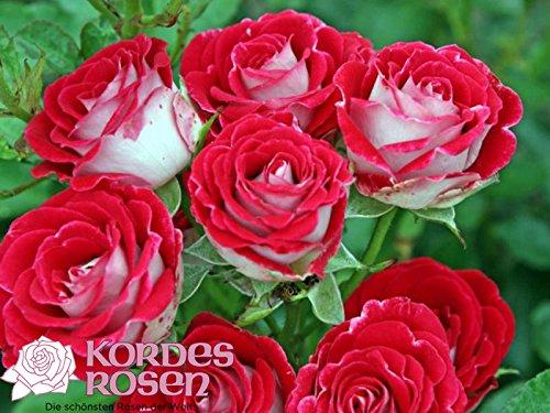 Beetrose Schöne Koblenzerin ® Marie Rottrová ® im großen 7,5 ltr Topf