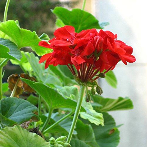 Generic Générique graines de géranium Appleblossom Rosebud Pelargonium graines de fleurs vivaces-10 pcs