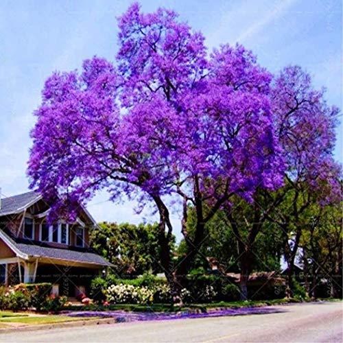 Cioler Blauglockenbaum Samen Paulownia Samen mit betörend duftenden Blüten Blumensamen mehrjährig winterhart (Lila, Mehrfarbig)