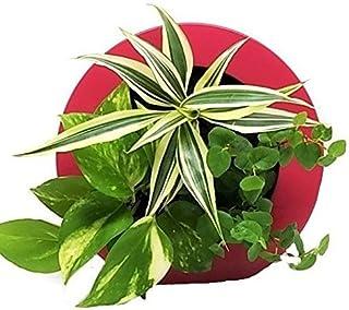 ミドリエデザイン 土を使わない 壁掛け 観葉植物 GreenFRAMEローズ17C4