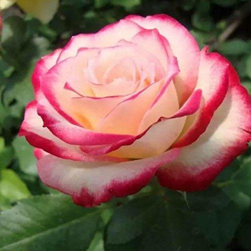 150PCS Rose Flower Seed Hollande Rose Graines amant cadeau arc-RARE 25 exotiques couleurs au choix de bricolage pour les plantes de jardin à la maison 9