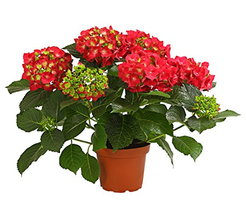 Dehner Hortensie, üppige rote Blütenbälle, ca. 40-50 cm, Ø Topf 13 cm, Zierstrauch