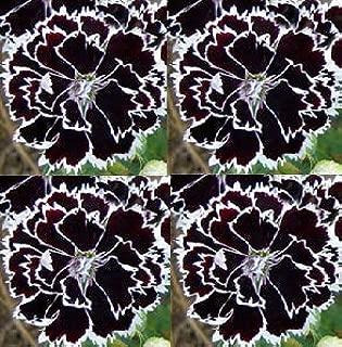 Seeds Dianthus Heddewigii Black & White Seeds get 25 Seeds