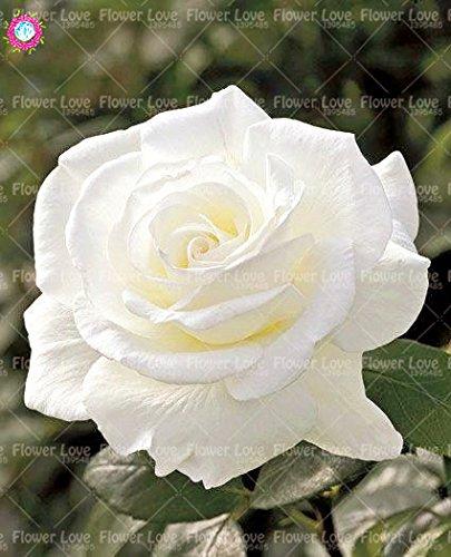 100PCS Chinese Rose Seeds So Black Rose Charme Bonsai Graines de fleurs vivaces rares fleurs des plantes pour jardin Envoyer un cadeau 12