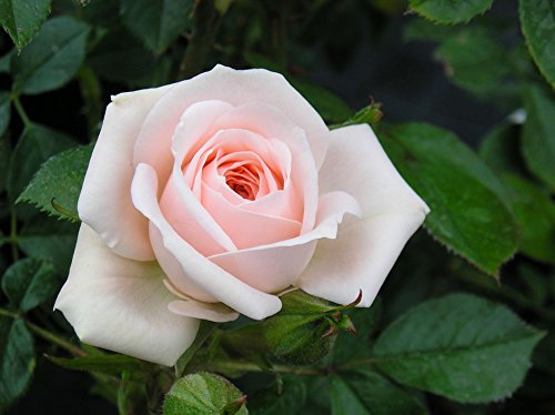 Special Friend - 5.5lt Potted Patio Garden Rose Bush - Pale Pink, Repeat Flowering - Lovely Gift