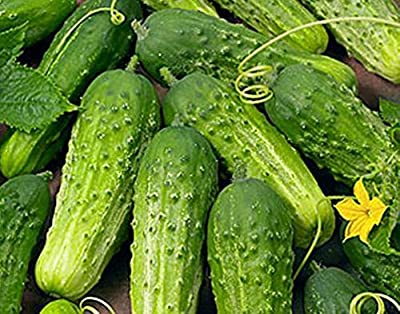Cucumber Boston Pickling Great Heirloom Vegetable Seeds Packed By Seed Kingdom. Varied Amounts