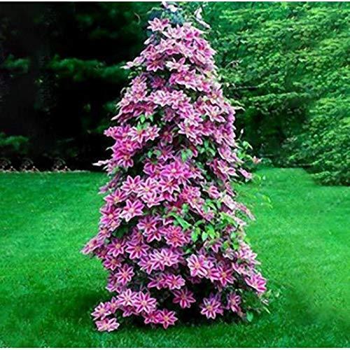 Kaimus Sementi di Clematide Semi di piante perenni bonsai perenne semi di clematide bonsai Sementi