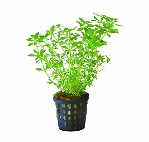 WFW wasserflora Vietnam Sumpffreund/Limnophila sp. Vietnam Mini