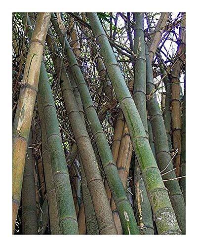 Bambusa arundinacea - Bambou roseau - 100 graines