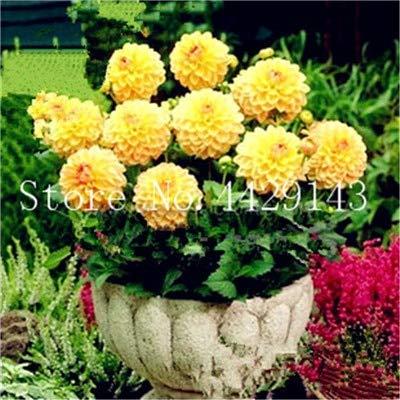 GETSO Heißer Verkauf-100 PC/Bag Dahlia Bonsai Erbstück Topf Dahlie-Blumen, Bonsai-Anlage für Hausgarten-DIY Topfpflanze Freien Verschiffen: 12