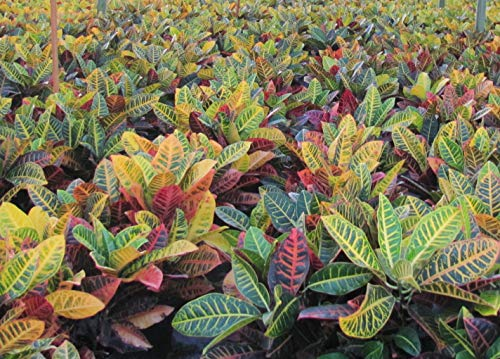 Product Image 3: Croton Petra Plant – Tropical Foliage Plant Live – 3 Gallon Pot – Overall Height 20″ to 24″ – Tropical Plants of Florida (Plant Only)