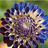 Kisshes Seedhouse - Bleu Graines de Dahlias pompon en mélange grainé fleur jardin Plantes vivaces
