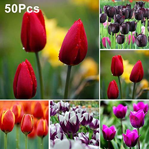 mothcattl Tulpenzwiebeln Blumensamen Garten Hof Wachsenden DIY Hause Bonsai Pflanze Dekor 50 Stücke Orange Rot Tulpensamen