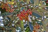 Asklepios-seeds® - 100 Samen Sorbus aria, Echte...